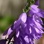 daisyping