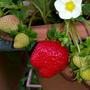 東林草莓園