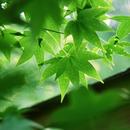 竹子的故鄉 圖像