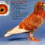 pigeonchen9011