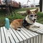 柯基犬Summer DAY
