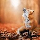 雪狐 圖像